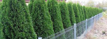 Naturalne, zielone płoty - czym odgrodzić się od sąsiada?