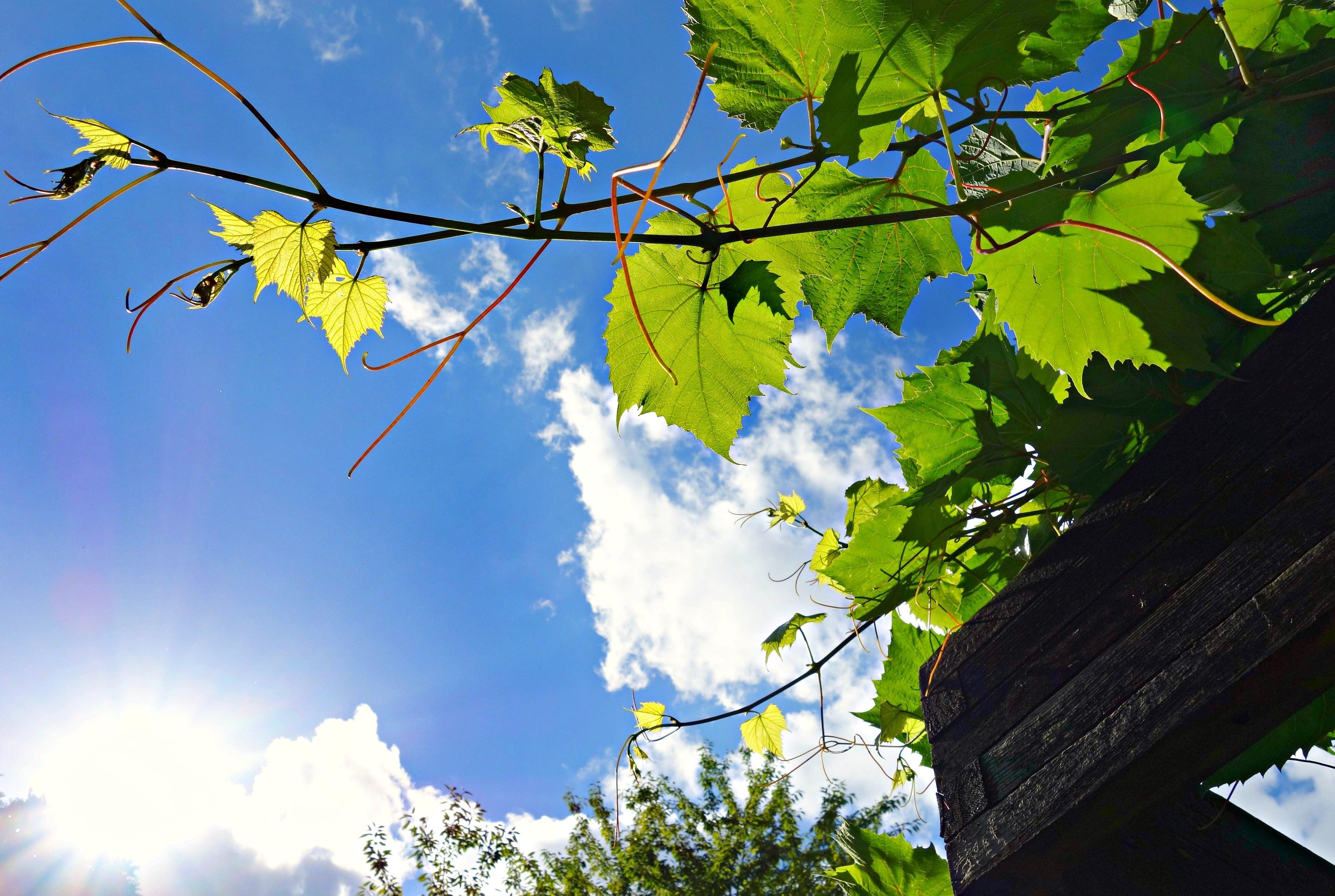 Winorośl na pergoli