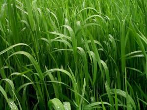 grass-1394068